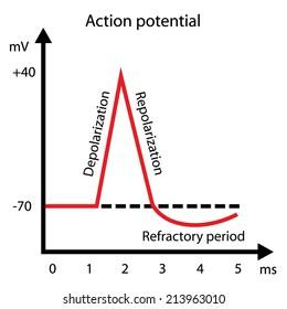 Nerve impulse action potential graph vector illustration eps