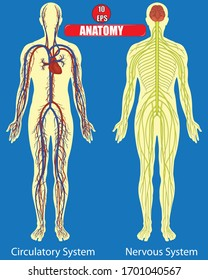Nervous and circlatory system of human body with blue background.