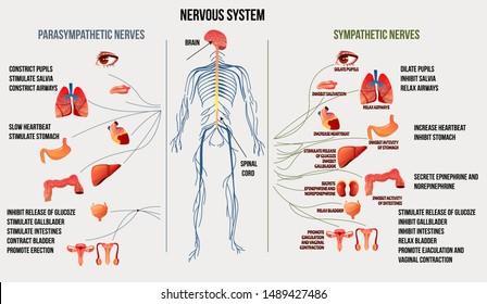 Nervous system and its functions. Colorful medical educational illustration with explanations.