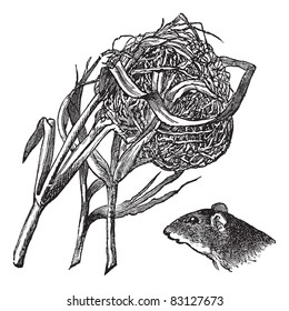 Nest and the head of harvest mouse, vintage engraving. Old engraved illustration of nest and the head of harvest mouse isolated on a white background. Trousset encyclopedia (1886 - 1891).