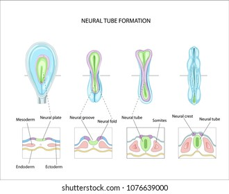 Neural tube formation. planning pregnancy. Development and formation of the brain. Anatomy of the Central nervous system