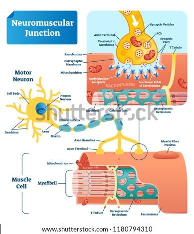 Neuromuscular Junction Vector Illustration Scheme Labeled Stock