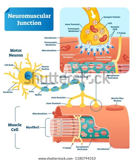 神経 筋 接合 部