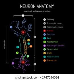 Neuronanatomie. Axone, Dendriten, Zellkörper, Myelin und synaptische Spaltgewebe. Neurowissenschaft Infografik auf schwarzem Hintergrund. Neurobiologie, wissenschaftliche Darstellung medizinischer Vektoren.