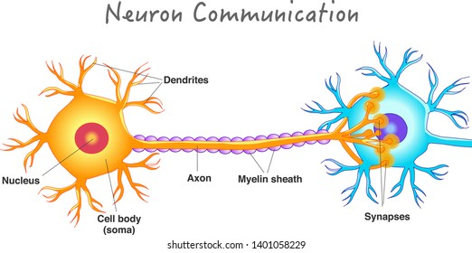 Neuron communication. Transmission of the nerve signal between two neurons. Neuron connect. Simple annotated. White background. 2d vector drawing.