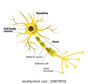 Nerve cell diagram images stock photos vectors shutterstock neuron and synapse labeled diagram ccuart Image collections