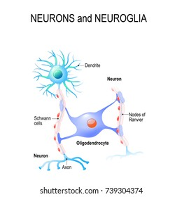 neurons and neuroglia. oligodendrocyte