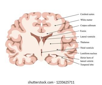 Neuroscience. Human brain vector. Cut brain structure