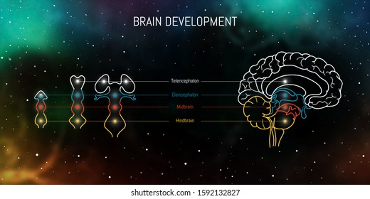 Neuroscience infographic on space background. Human brain evolution from embyo to adult . Brain vesicles and anatomy structure cross section. Neurobiology scientific medical vector.