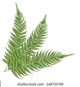 New Zealand fern leaves