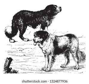 Newfoundland dog, vintage engraved illustration. Zoology Elements from Paul Gervais.