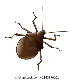 Nezara viridula, stink bug, vector