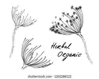 Nifty gentle hand drawn botanical stalk set. Vintage nature element for visit card or wedding invitation. Stylish flower, fancy blossom.Black line botanical motiv. Herbal culm. Organic dandellion bud