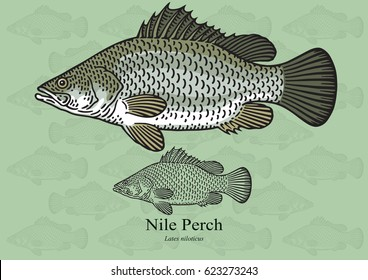 Nile Perch, African Snook. Vector illustration with refined details and optimized stroke that allows the image to be used in small sizes (in packaging design, decoration, educational graphics, etc.)