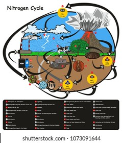 Nitrogen Cycle infographic diagram showing how nitrogen go in circulation with human environment factors nitrification fixation ammonification plant animal fossil fuel rain lightning volcano education