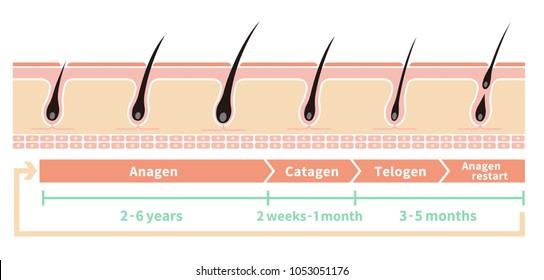 Normal hair cycle illustration (english)