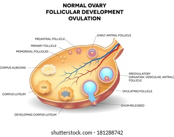 Ovarian Follicle Images, Stock Photos & Vectors | Shutterstock