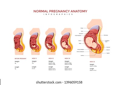 Normal Pregnancy Anatomy Medical Infographic Chart Composition Poster Illustration, Suitable For Education, Presentation, Print and Other Related Occasion