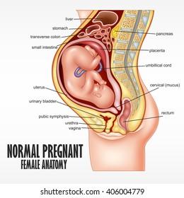 Normal Pregnant female anatomy