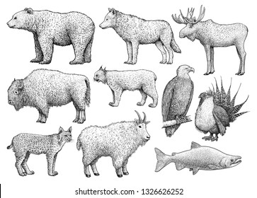 North American animals collection, illustration, drawing, engraving, ink, line art, vector