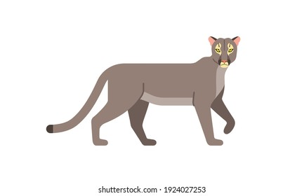 North American native animal Puma, Cougar or mountain lion (Puma concolor) walking in side angle view, flat style vector illustration isolated on white background