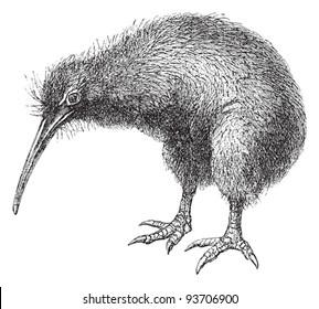 North Island Brown Kiwi (Apteryx Mantelli) / vintage illustration from Meyers Konversations-Lexikon 1897