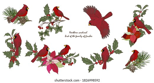 Northern cardinal birds and Christmas plants, new year compositions with winter plants and birds, set, vector illustration