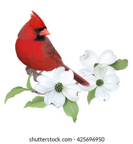Northern Cardinal perched on a blooming White Dogwood. Hand drawn vector illustration on transparent background, realistic representation.