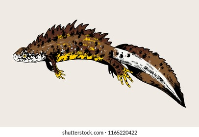 Northern crested newt, great crested newt, triton. Highly detailed vector hand drawn illustration.