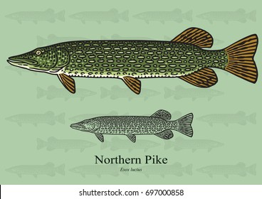 Northern Pike. Vector illustration with refined details and optimized stroke that allows the image to be used in small sizes (in packaging design, decoration, educational graphics, etc.)