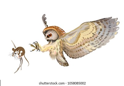 The northern saw-whet owl (Aegolius acadicus), owl hunting mouse
