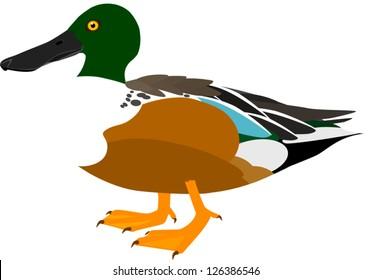Northern Shoveler Vector Illustration (Male) Dabbling Duck