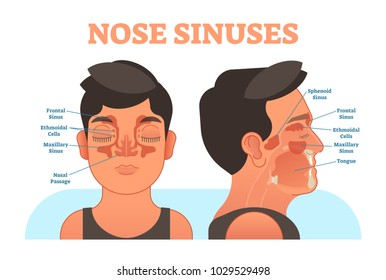 Nose sinuses anatomical vector illustration cross section. Educational information.