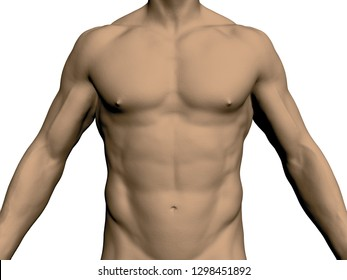 Nude male torso. Front view. Without head and legs. Realistic human body. Athletic male. Muscular arms and chest. Vector illustration.