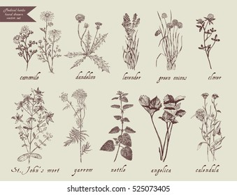 Number 1 medical herbs hand drawn set. Vintage style. Lavender, milfoil, calendula, camomile, dandelion, clover,angelica, st.John's wort, yarrow, nettle, green onion.