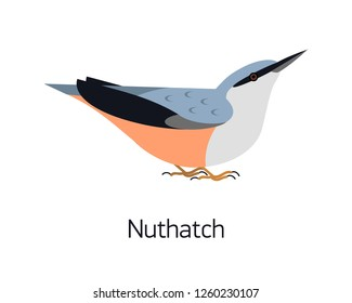 Nuthatch isolated on white background. Cute small woodland bird with bright plumage. Gorgeous adorable wild avian species living in forest. Modern vector illustration in trendy flat geometric style.