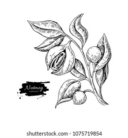 Nutmeg plant branch vector drawing. Botanical illustration. Vintage hand drawn spice sketch. Herbal seasoning ingredient, culinary and cooking flavor.
