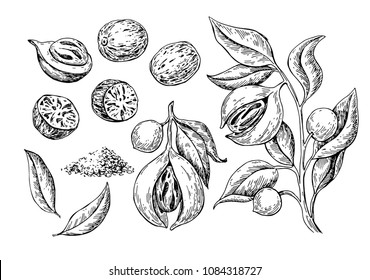Nutmeg spice vector drawing. Ground seasoning nut sketch. Dried seeds and fresh mace fruits Herbal ingredient, cooking flavor. Condiment engraved illustration. Great for template label, packing design