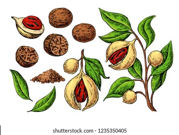 Nutmeg spice vector drawing. Ground seasoning nut sketch. Dried seeds and fresh mace fruits Herbal ingredient, cooking flavor. Condiment  illustration. Great for template label, packing design