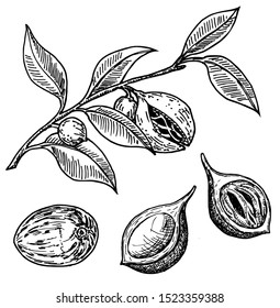 Nutmeg spice vector sketch. Ground seasoning nut. Dried seeds and fresh mace fruits, nutmeg branch. Herbal ingredient, cooking flavor. Condiment. For template label, packing design, illustration