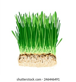 Nutritious homegrown wheatgrass or barley grass plants. Isolated sprouts. Vector image