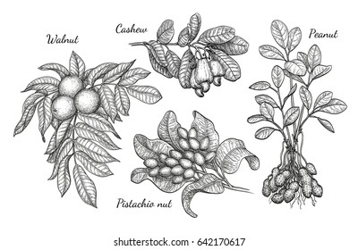 Nuts set. Ink sketch of plants. Hand drawn vector illustration. Isolated on white background. Retro style.