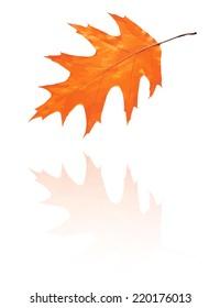 oak leaf with red, orange colors, vector