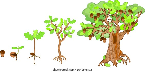 Oak life cycle. Plant growin from acorn to mature oak tree