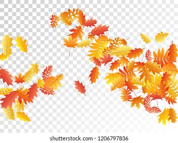 Oak, maple, wild ash rowan leaves vector, autumn foliage on transparent background. Red orange yellow oak dry autumn leaves. Vivid tree foliage fall season specific background.