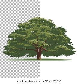Oak tree. Isolated vector tree on white background.