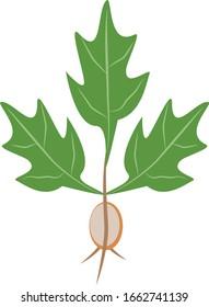 Oak tree leaves and seedling acorn