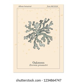 Oakmoss (Evernia prunastri), medicinal plant. Hand drawn botanical vector illustration