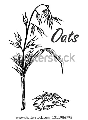 Oats Sketch Hand Drawn Set Oats Stock Vector Royalty Free