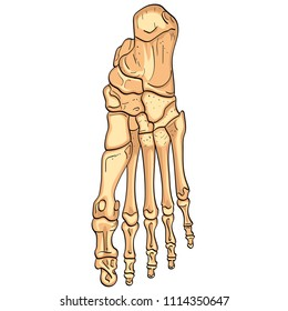 Object isolated on white background. Bones of the foot with main parts labeled. From above, lateral and medial views. Vector illustration
